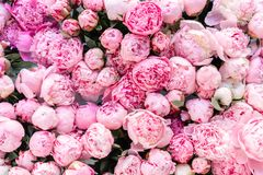 Warehouse refrigerator, Wholesale flowers for flower shops. Pink peonies in a plastic container or bucket. Online store. Floral shop and delivery concept stock photography