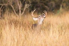 Wargi fryzowanie whitetail samiec zdjęcia royalty free