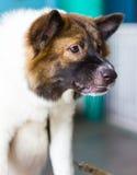 Warkliwi psi twarzy zagrożenia Zdjęcia Stock