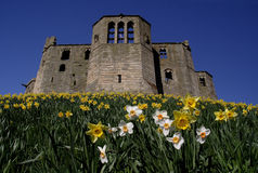 Warkworth Castle. Daffodils royalty free stock image