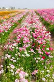 Farm many lovely blooming flower field in California. Royalty Free Stock Photography