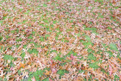 Warm autumn colored oak tree leaves background on the grass lawn. Brown, yellow and red autumn colored oak tree leaves background on the grass lawn royalty free stock photo