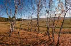 Warm autumn. Autumn. Missing fields. The last warm days. Dance naked birches in anticipation of winter Stock Photos