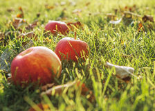 Warm Autumn : Ripe apple in green grass Royalty Free Stock Photography