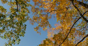 Warm autumn sun shining through colorful foliage treetops on beautiful sunny day. Low angle view stock video footage