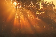 Warm autumn sunbeams. Sunbeams in a foggy morning Stock Images