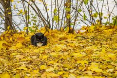 Warm autumn sunny day. Cute black cat resting in the park on fallen bright leaves. With place for your text, for background use royalty free stock photos