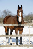 Warm Blood Bay Horse Standing In Winter Corral Rural Scene Royalty Free Stock Image