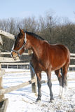 Warm Blood Bay Horse Standing In Winter Corral Rural Scene. Thoroughbred saddle horse looking over the corral fence Stock Images