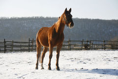 Warm Blood Bay Horse Standing In Winter Corral Rural Scene. Thoroughbred saddle horse looking over the corral fence Stock Photography