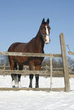 Warm Blood Bay Horse Standing In Winter Corral Rural Scene Stock Images