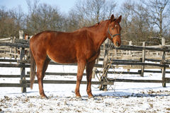 Warm Blood Horse Standing In Winter Corral Rural Scene. Beautiful young chestnut horse standing winter paddock under blue sky stock photography