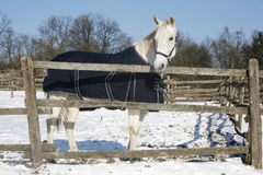 Warm Blood Purebred Horse Standing In Winter Corral Rural Scene. Thoroughbred saddle horse looking over the corral fence Stock Image