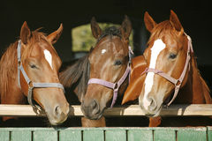 Warm blood purebred mares looking over the barn door Royalty Free Stock Photos