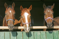 Warm blood purebred mares looking over the barn door Stock Photos