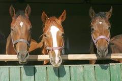 Warm blood purebred mares looking over the barn door Stock Photos