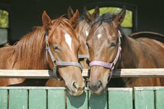 Warm blood thoroughbred horses at the barn door Stock Photo