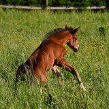 A warm-blooded foal of trotting horse. Has its first time on a green and lush summer meadow in Sweden stock images