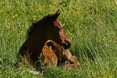 A warm-blooded foal of trotting horse. Has its first time on a green and lush summer meadow in Sweden stock photo