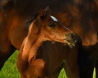 A warm-blooded foal of trotting horse. Has its first time on a green and lush summer meadow in Sweden royalty free stock photos