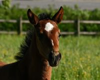 A warm-blooded foal of trotting horse. Has its first time on a green and lush summer meadow in Sweden royalty free stock photography