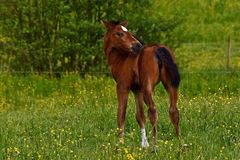A warm-blooded foal of trotting horse. Has its first time on a green and lush summer meadow in Sweden royalty free stock images