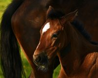 A warm-blooded foal of trotting horse. Has its first time on a green and lush summer meadow in Sweden stock photos