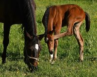 A warm-blooded foal of trotting horse. Has its first time on a green and lush summer meadow in Sweden royalty free stock image