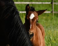 A warm-blooded foal of trotting horse. Has its first time on a green and lush summer meadow in Sweden royalty free stock photo