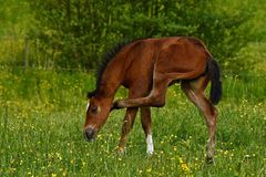 A warm-blooded foal of trotting horse. Has its first time on a green and lush summer meadow in Sweden stock image