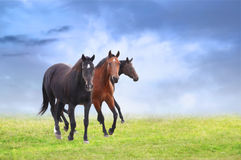 Warm-blooded horses on field, blue sky background royalty free stock image