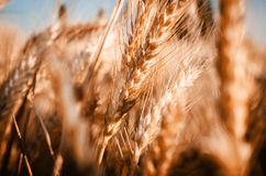 Warm breeze. It was an warm breeze of July in that wheat field outside town Ansbach Royalty Free Stock Photos