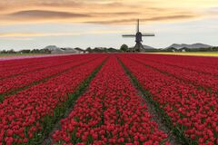 Free Warm Color Sunset On A Red Tulip Farm Stock Images - 181916344