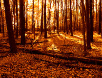 Warm Colors Woods and Fall Leaves in Autumn Forest. Warm tone colors woods in the fall with fallen autumn leaves on the forest ground Royalty Free Stock Photography