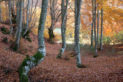 Warm Colors Woods and Fall Leaves in Autumn Forest Royalty Free Stock Images