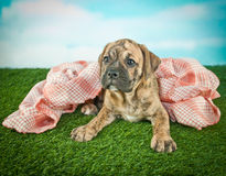 Warm and Cozy Bulldog Puppy Royalty Free Stock Photo