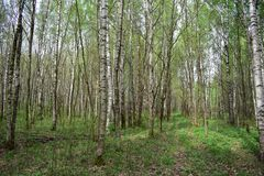 Warm cozy summer forest colorful Kingdom spreading everywhere colorful carpet of grass. Slender birches shake their lush heads royalty free stock photography