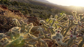 Warm desert sunrise and chollas cactus. Tilted wide angle sunrise illuminates blooming chollas cactus on rugged desert floor in Red Rock conservation area Royalty Free Stock Photography