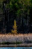Warm evening light shines on a young tree. A spruce tree rising from the wetlands  at the edge of the treeline stock photos