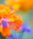 Warm floral blur. A background blur of orange and purple flowers with the edge of a few petals in focus stock images