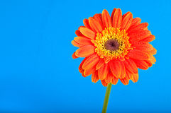 Warm friendly Daisy Royalty Free Stock Image