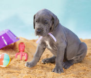 Warm glance. Great Dane puppy on the sand looking longingly at something Stock Photos
