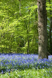 Warm golden light in Spring bluebell woods Royalty Free Stock Images