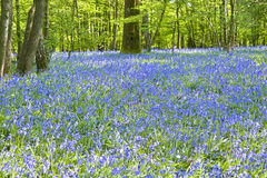 Warm golden light in Spring bluebell woods Stock Image