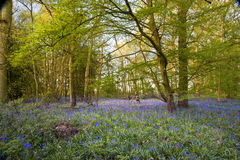 Warm golden light in Spring bluebell woods Stock Photos