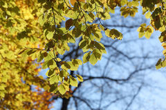 Warm green leafs on lime tree branch during autumn Stock Photo