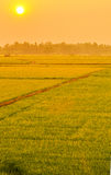 Warm light with beautiful rice greenfield Royalty Free Stock Photo