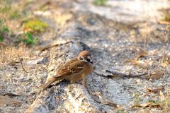 Close up a small Asian bird standing on the ground. Warm light and green nature background stock image