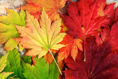 Warm Maple Leaves Stock Photos