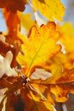 Warm oak leaves. Autumn: oak (Quercus sp.) leaves royalty free stock images